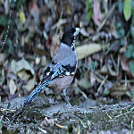 Garrulus lanceolatus (Black-headed Jay)