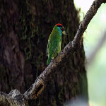Megalaima asiatica (Blue-throated Barbet)