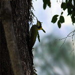 Picus flavinucha (Greater Yellownape Woodpecker)