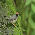 Aegithalos concinnus (Black-throated Tit)
