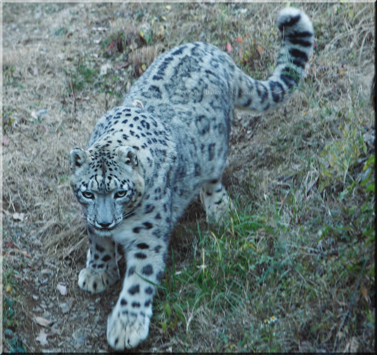 White leopard at Gangotri National Park